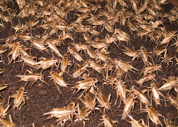 Lots of Crickets